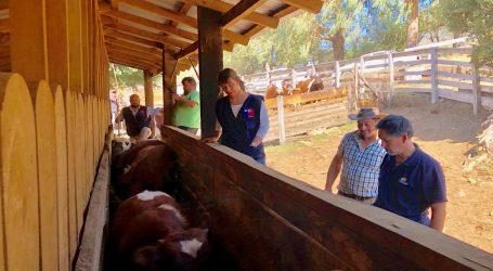 Indap Araucanía inicia estrategia para mejorar la leche y carne bovina de pequeños ganaderos