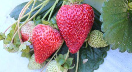 Frutilleros de CholChol firman acuerdo comercial con empresa exportadora frutícola Olmué