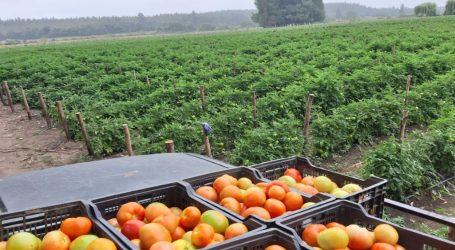 Exitoso balance de productores de Tomate Angolino al cierre de temporada
